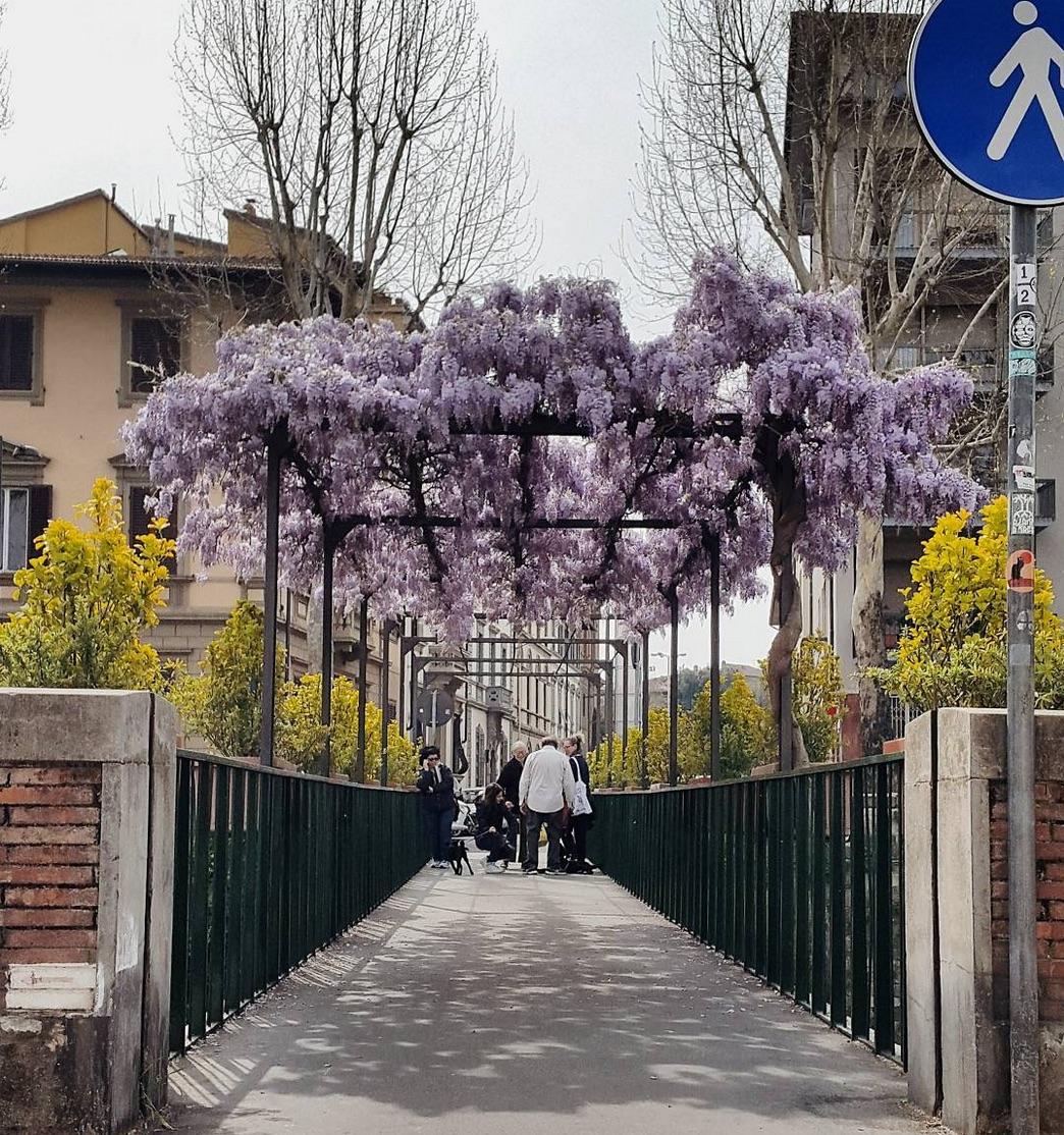 Giardino Orticoltura Firenze: Glicine Mania O Wisteria Hysteria: Il Glicine A Firenze