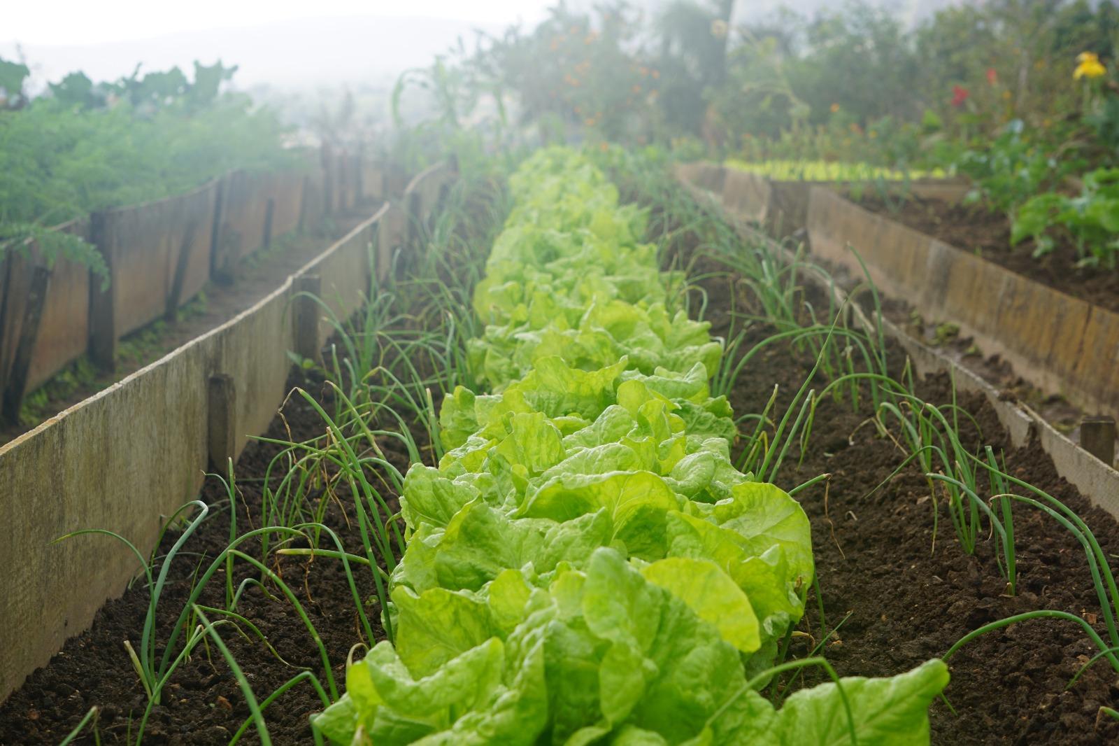 campi di insalata